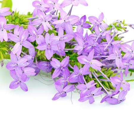 violet flower: Blossom violet flower, Violet Ixora (Pseuderanthemum andersonii) isolated on a white background