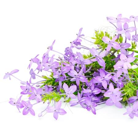 Fleur fleur violette, Violet Ixora (Pseuderanthemum andersonii) isolé sur un fond blanc Banque d'images - 21199633
