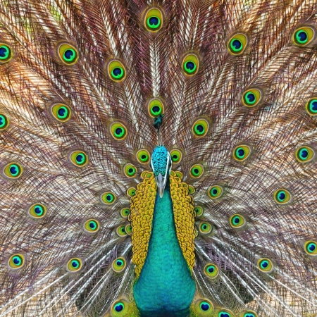Beautiful Green Peafowl (male) with colorful tail fully open  Stock Photo