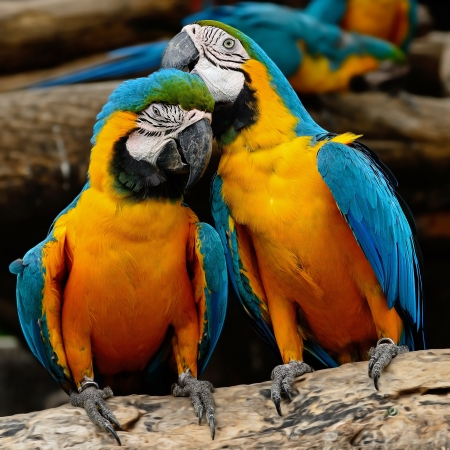 Colorful Blue and Gold Macaw aviary, sitting on the log