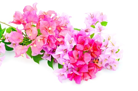 Tropical bougainvillea flower, isolated on a white background photo