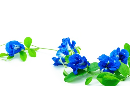 Climber blue flower, Butterfly Pea or Blue Pea, isolated on a white background photo