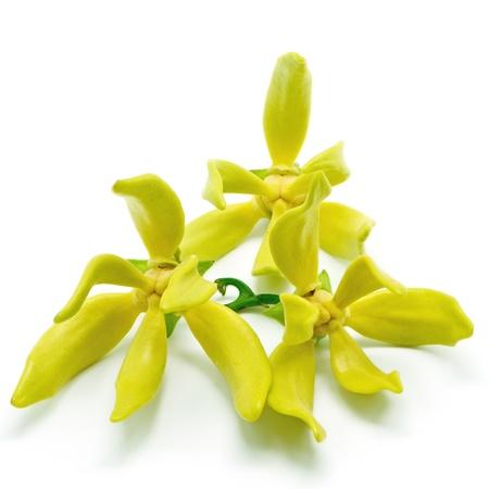 흰 배경에 고립 일랑 일랑 꽃 (Cananga의 odroata)
