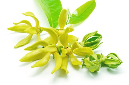 Ylang Ylang flower (Cananga odroata), isolated on a white background