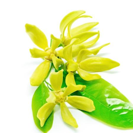 Ylang Ylang fleur (Cananga odroata), isolé sur un fond blanc Banque d'images - 21185969
