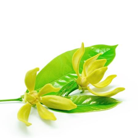 흰색 배경에 일랑 일랑 꽃 (Cananga의 odroata), 절연 스톡 사진