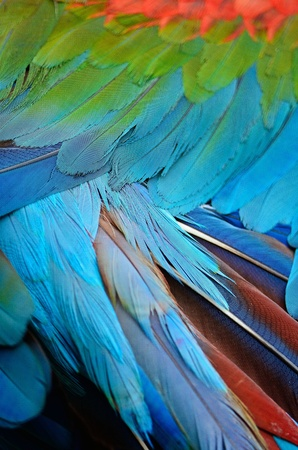 Greenwinged Macaw feathers photo
