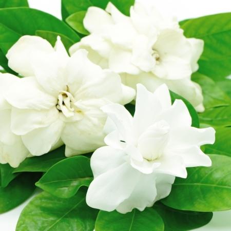 Fleur blanche de Gardenia ou Cape Jasmine (Gardenia jasminoides), isolé sur un fond blanc Banque d'images - 21186018