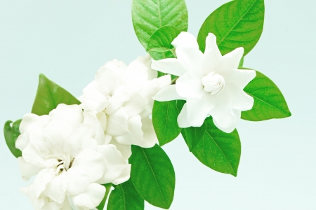 White Gardenia flower or Cape Jasmine (Gardenia jasminoides), isolated on a white background Stock Photo
