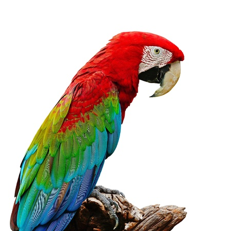 Greenwinged Macaw aviary, isolated on a white background photo