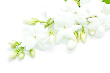White Jasmine flower, isolated on a white background