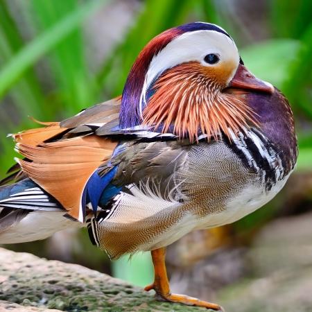 Beautiful male Mandarin Duck (Aix galericulata) photo