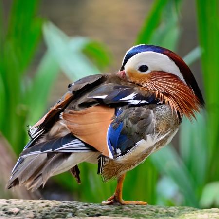 aix galericulata: Beautiful male Mandarin Duck (Aix galericulata)