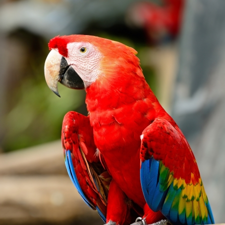 Colorful Scarlet  Macaw aviary, sitting on the log, breast profile Stock Photo