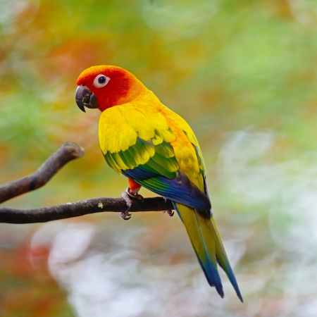 Beautiful colorful parrot, Sun Conure (Aratinga solstitialis), golden-yellow plumage and orange-flushed underparts and face, native bird to northeastern South America photo