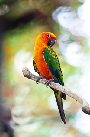 Beautiful colorful parrot, Sun Conure (Aratinga solstitialis), golden-yellow plumage and orange-flushed underparts and face, native bird to northeastern South America