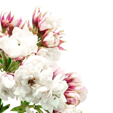 bower: Blossom of white flower, Glory Bower (Clerodendrum chinense), isolated on a white background Stock Photo