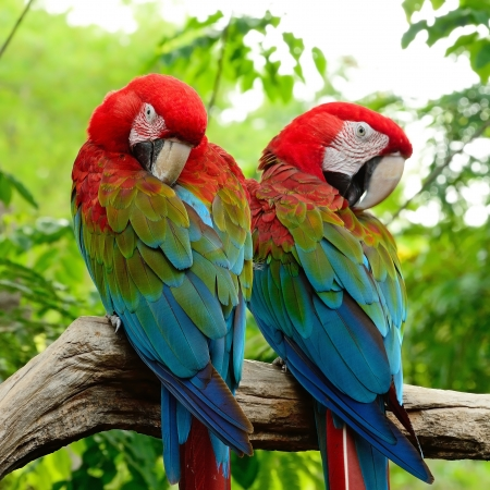 Beautiful  couple of Greenwinged Macaw aviary, sitting on the log