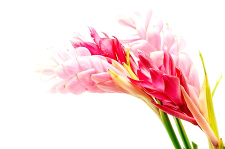 alpinia: Colorful flower, Red Ginger or Ostrich Plume (Alpinia purpurata), in red and pink form, isolated on a white background