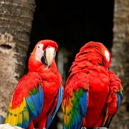 aviary: Beautiful Scarlet Macaw aviary  Stock Photo