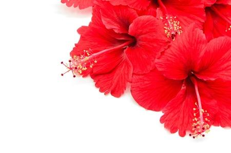 흰색 배경에 고립 된 아름 다운 빨간 히비스커스 꽃