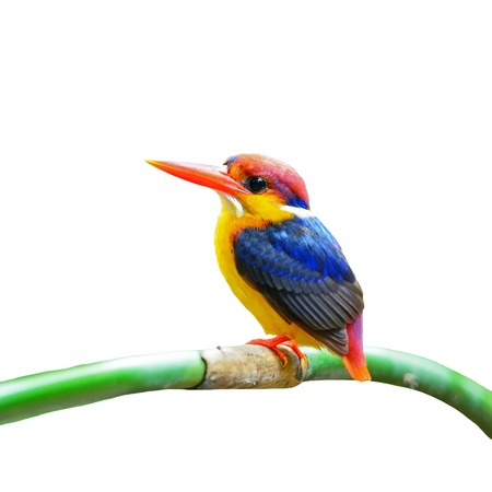 Colorful Kingfisher, male Black-backed Kingfisher (Ceyx erithacus), side profile, isolated on a white background photo