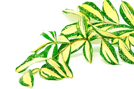 Foliage leaves of dracaena, Gold Dust dracaena or Spotted dracaena, stripped form, isolated on a white background photo
