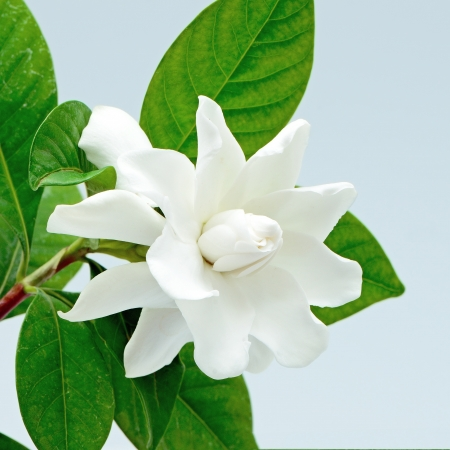 White Gardenia flower or Cape Jasmine (Gardenia jasminoides), isolated on a blue background Stock Photo