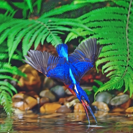 subaquatic: Catching fish technique, male Blue-eared Kingfisher (Alcedo meninting), in action Stock Photo