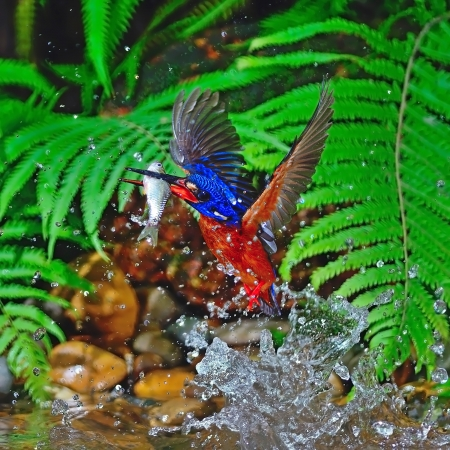 Well done, catching fish, male Blue-eared Kingfisher (Alcedo meninting), in action Stock Photo - 21214707