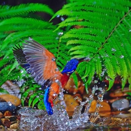 subaquatic: Swing bird, catching fish, male Blue-eared Kingfisher (Alcedo meninting), in action Stock Photo