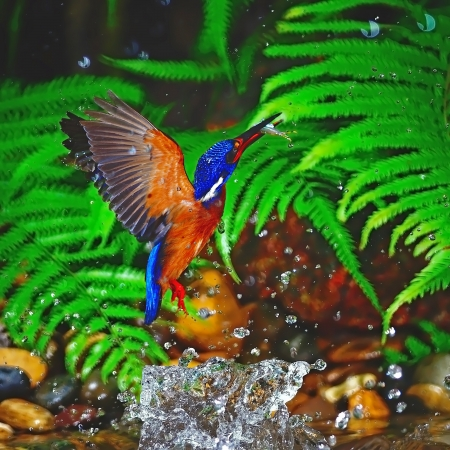 subaquatic: Up to the air, male Blue-eared Kingfisher (Alcedo meninting), stop action Stock Photo