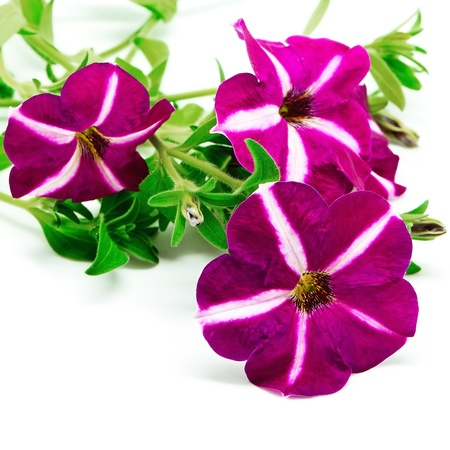 Star pink petunia, isolated on a white background