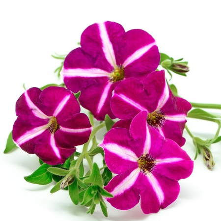 Pink petunia flower, isolated on a white background Stock Photo