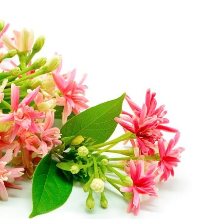 Belle Rangoon creeper fleur (Quisqualis indica), isolé sur un fond blanc Banque d'images - 21215137