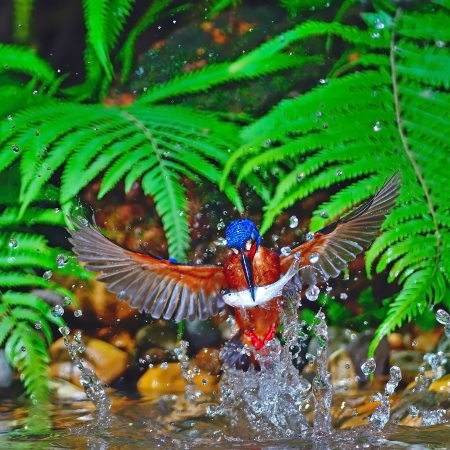 Catching fish, male Blue-eared Kingfisher (Alcedo meninting), in flight photo