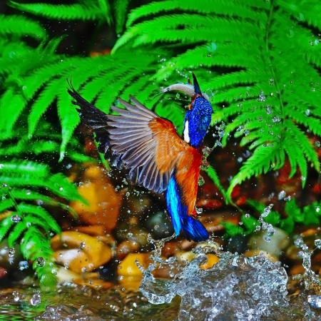 catching fish in the air, male Blue-eared Kingfisher (Alcedo meninting), stop action photo
