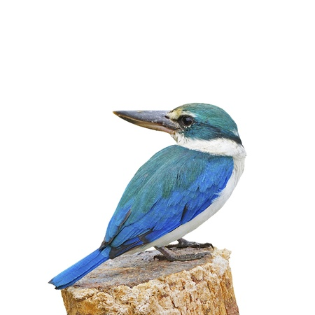 Blue and white Kingfisher, Sacred Kingfisher (Todiramphus sanctus), standing on the stump, isolate on a white background Stock Photo