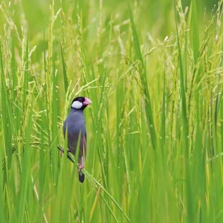 Beautiful Java Sparrow bird (Lonchura oryzivora), standing on a rice branch in the rice field