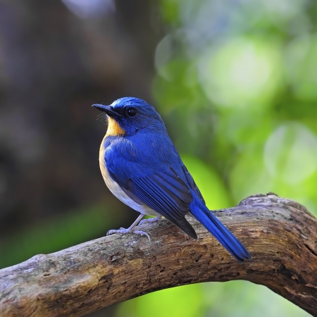 Colorful blue bird, male Hill Blue Flycatcher (Cyornis banyumas), standing on the log, back profile Stock Photo