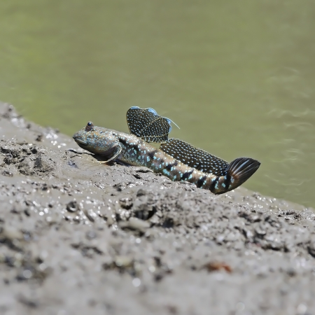 the amphibious: A little cute Mudskipper, Amphibious fish (Boleophthalmus boddarti), sitting on the ground shore Stock Photo