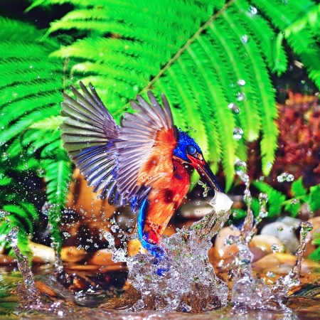 alcedo: Kingfisher bird in action, male Blue-eared Kingfisher (Alcedo meninting) Stock Photo