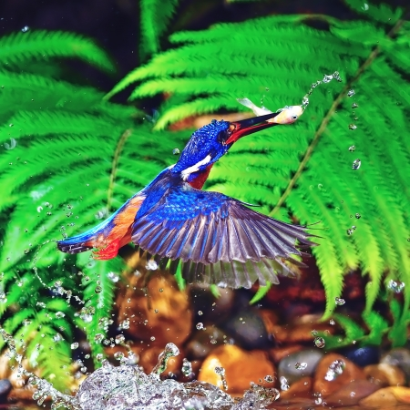 subaquatic: Kingfisher bird in action ,catch jumping fish, male Blued-eared Kingfisher (Alcedo meninting) Stock Photo