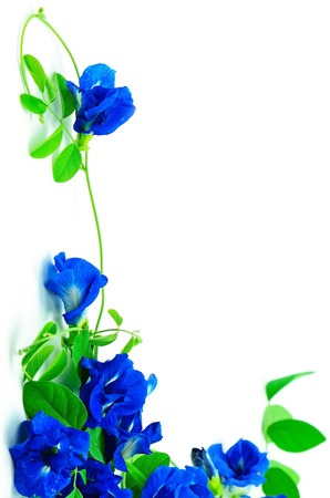 Climber flower, Butterfly Pea, Pigeon Wings, Blue Pea, isolated on a white background photo