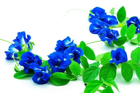Summer flower of a climber blue flower, Butterfly Pea, Pigeon Wings, Blue Pea, isolated on a white background Stock Photo