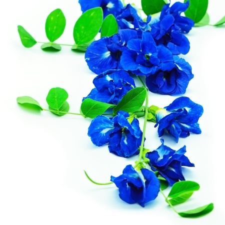 Colorful blue flower, Butterfly Pea, Pigeon Wings, Blue Pea, isolated on a white background