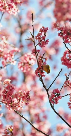 Beautiful cherry blossming, a Oriental White-eye bird, standing on the Wild Himalayan cherry tree, taken in Thailand photo