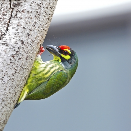 Colorful Barbet bird, Coppersmith Barbet (Megalaima haemacephala), standing on the tree photo