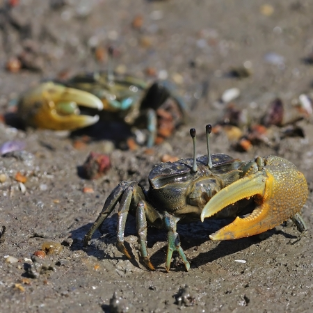 fiddler: A two male Fiddler crab on a sandy beach Stock Photo