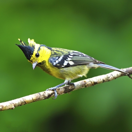 Colorful yellow bird, Yellow-cheeked Tit (Parus spilonotus),\ pale black-breasted indicated to female, side profile